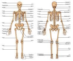 Human Anatomy Skull Bones Anatomical Diagram Of Human Skull Bones Human Anatomy Lesson