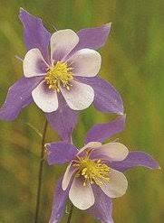 State Flower Of Colorado - colorado wildflowers