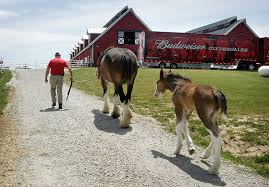 Budweiser Clydesdale Barn Perfection U0027 An Anheuser Busch Clydesdale Stud Passes On Desired