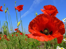 poppies flowers pictures of poppy flowers williams