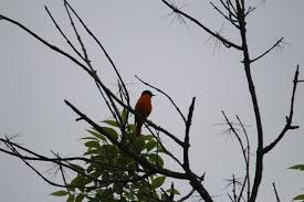 100 how to attract baltimore orioles to your backyard