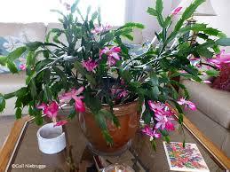 thanksgiving cactus blooms