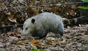opossums are beneficial to have around paw mane fin