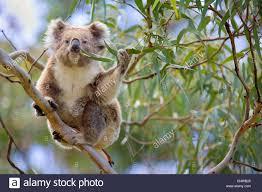 koala koala bear phascolarctos cinereus sitting high up