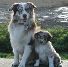 d b australian shepherds australian shepherd male pups brandon suffolk pets4homes