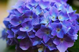 purple hydrangea hydrangeas farragut magazine
