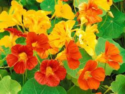 nasturtium flowers flowers
