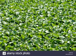 australian native aquatic plants aquatic pond plants stock photos u0026 aquatic pond plants stock