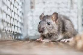 rat removal windermere critter control orlando