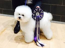 bichon frise breed standard kc reg bichon frise puppies show standard middlesbrough north