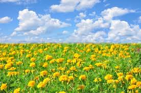 the flowers of summer at field of beautiful yellow flowers and blue sky in