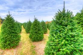 real christmas trees for sale shipping christmas trees what you should and how we can help