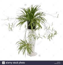 chlorophytum comosum spider plant stock photo royalty free image