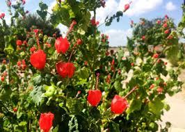 Turks Cap Best Plant For Wildlife Turk U0027s Cap Neil Sperry U0027s Gardens
