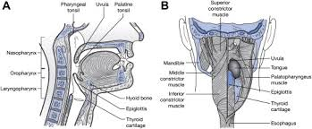 Normal Bone Anatomy And Physiology Anatomy And Physiology Of Feeding And Swallowing Normal And