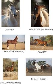 ferrari horse vs mustang horse 53 best marwari images on pinterest horses marwari horses and