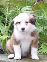 australian shepherd pomeranian mix puppies for sale buckeye puppies