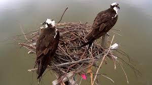 osprey camera live video of audubon osprey nest explore org