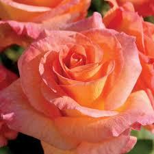 mardi gras roses mardi gras 24 inch tree at jackson and perkins