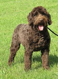labradoodle hairstyles australian labradoodle haircut styles best wedding hairs