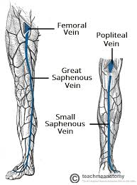 Foot Vascular Anatomy Venous Drainage Of The Lower Limb Teachmeanatomy
