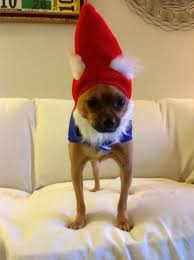 Chihuahua Halloween Costume 43 Chihuahuas Dressed Ridiculously Cute Images