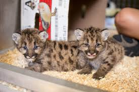 toledo zoo receives 3 orphaned cougar cubs from washington sfgate
