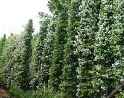star jasmine on trellis evergreen climbing plants buy uk