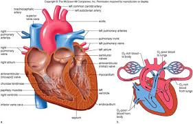 Anatomy Of Heart Valve Overview Of The Cardiovascular System