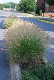 73 best ornamental grasses images on ornamental