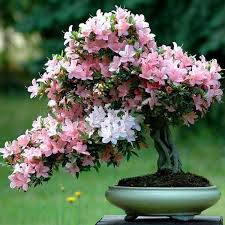 sale 10pcs red japanese sakura seeds bonsai tree seeds flower