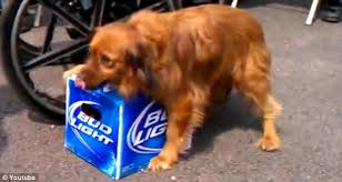 How Much Is A Case Of Bud Light Dog Fiercely Protects Case Of Bud Light Refusing To Share With