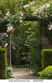 climbing rose stock images royalty free images u0026 vectors