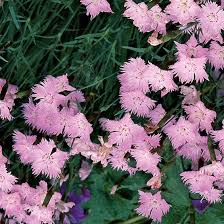 cheddar pink finegardening