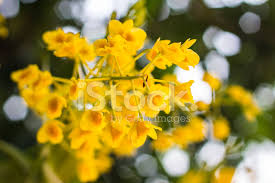 Yellow Orchid Dendrobium Chrysotoxum Lindl Yellow Orchid Stock Photos