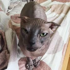sphynx sweaters hairless cat breeder ny