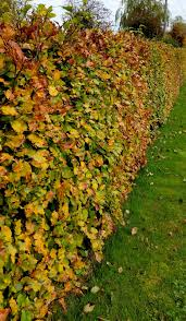 native hedge plants a simple guide to planting hedginggreenside up