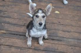 australian shepherd quesnel australian shepherd adopt local dogs u0026 puppies in manitoba