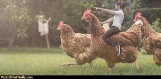 Rooster Meme - just a friendly rooster race meme generator captionator caption