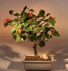 hibiscus bonsai trees