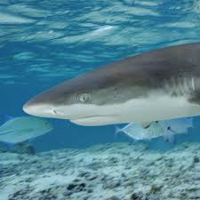 blacktip shark national geographic