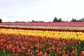 Skagit Valley Tulip Festival Bloom Map A Rainy Day Visit To The Skagit Valley Tulip Festival