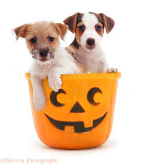 a halloween background dogs jack russell pups in a halloween bucket photo wp10023