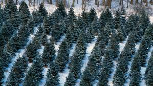 what are the different types of christmas trees reference com
