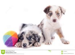 bearded collie x border collie puppies for sale puppies border collie stock images image 31373304