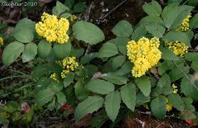 plants native to oregon creeping oregon grape low oregon grape berberis repens synonyms