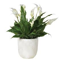 Peace Lily Artificial Potted White Flowering Peace Lily Bush Mulberry Moon