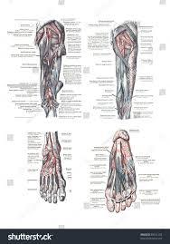 Foot Vascular Anatomy 4 Views Human Foot Leg Atlas Stock Photo 89021293 Shutterstock