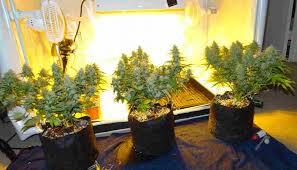 cfl lights for growing weed cfls to grow weed auto flowering marijuana seeds