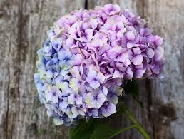 how to dry and preserve hydrangea flowers